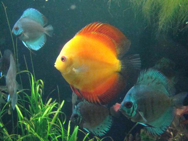 Stock 364: orange fish