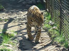 Stock 370: jaguar by AlzirrSwanheartStock