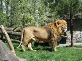 Stock 374: lion by AlzirrSwanheartStock