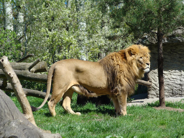 Stock 374: lion by AlzirrSwanheartStock