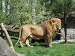 Stock 374: lion