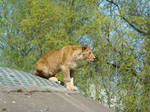 Stock 375: young lion sitting