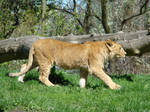 Stock 376: young lion walking