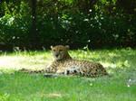 Stock 390: cheetah