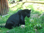 Stock 391: black panther