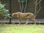 Stock 425: cheetah walking