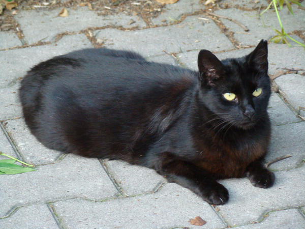 Stock 488: black cat lying by AlzirrSwanheartStock