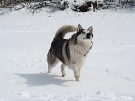 Stock 511: snow husky by AlzirrSwanheartStock