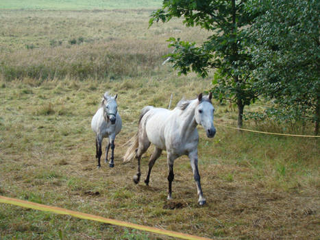 Stock 522: white horse galloping