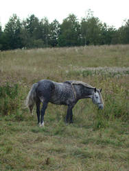 Stock 525: dapple grey braided horse