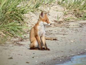 Stock 526: fox cub