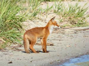 Stock 527: fox cub 2