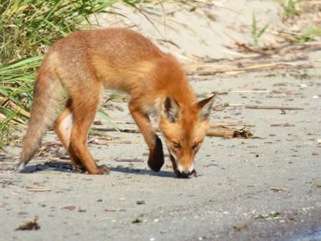 Stock 528: fox cub 3