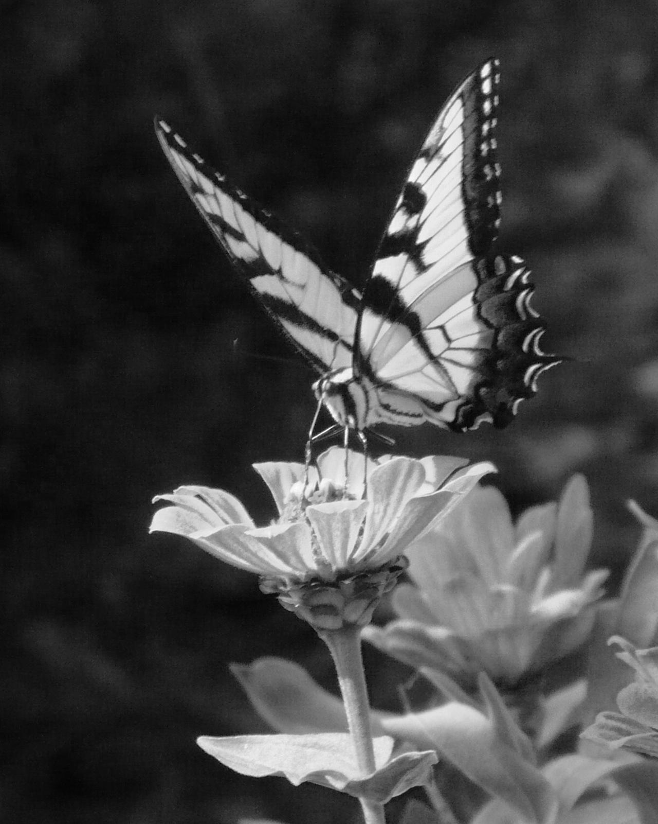Black and White Butterfly by DeilspaceGristVintage Butterfly Black And White