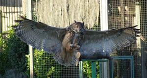Eagle Owl wings
