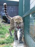 Amur Leopard 7854