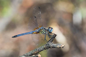 Another Blue Dasher by typomazoku