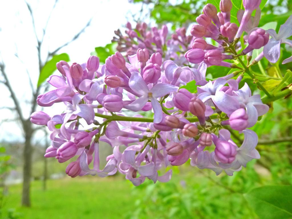 Purple Lilac by GhostmasterJay