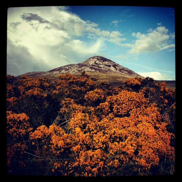 Gorse on the mountain