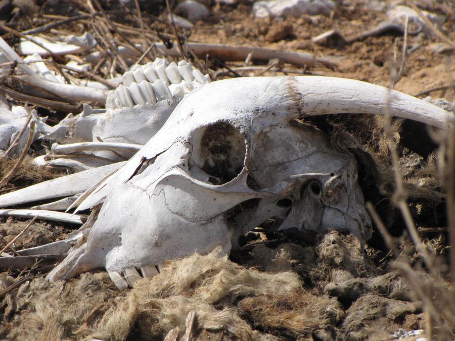 Mountain goat skull - photo#12