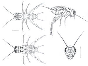 ScientificIllustration:Cricket