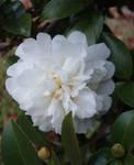 Shy Blossom