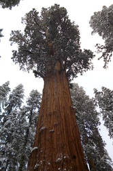 Sequoiargeous by 0ut0f4mmo