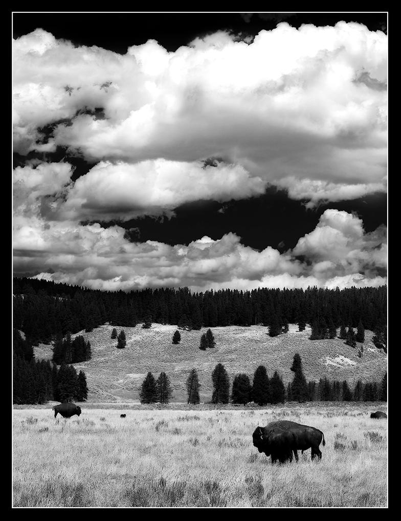 B and W Bison by killersnowman