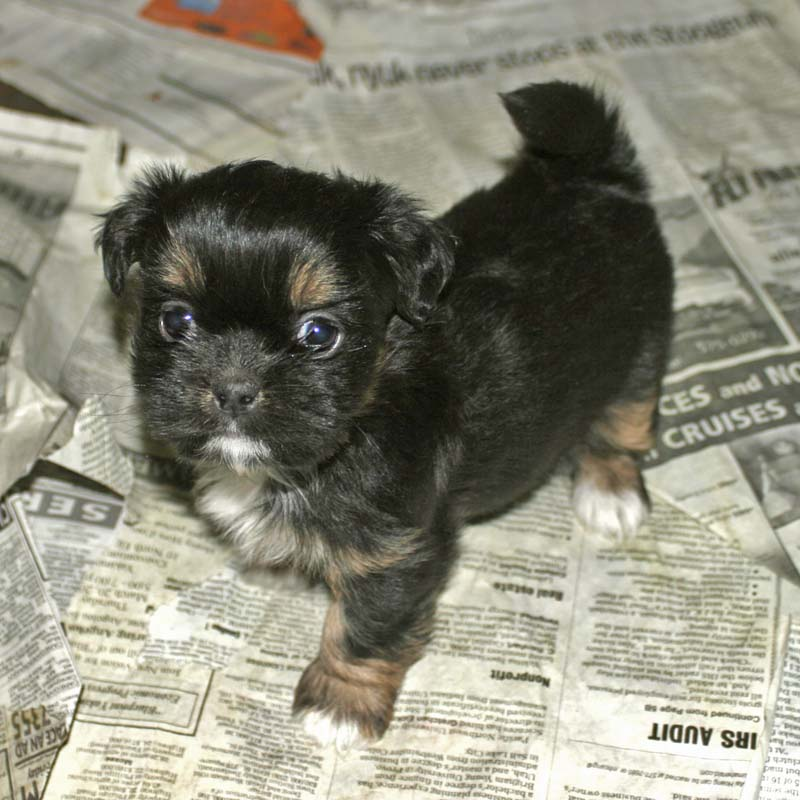 shih tzu mix puppy displaying 15 gallery images for black yorkie shih ...