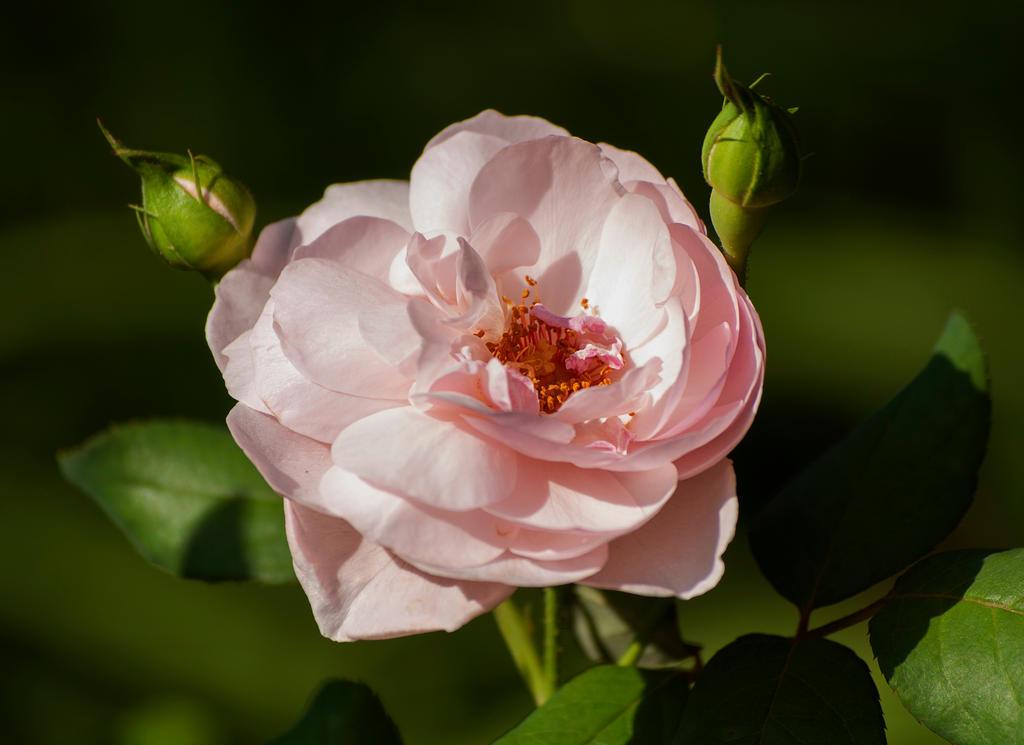 Pinkrose By Zandypop On Deviantart