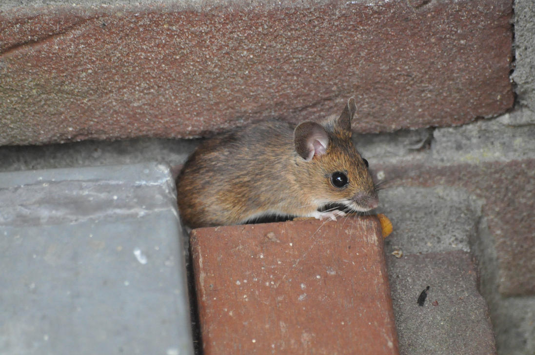 more_mouse_by_neurologics-d7cdloi.jpg