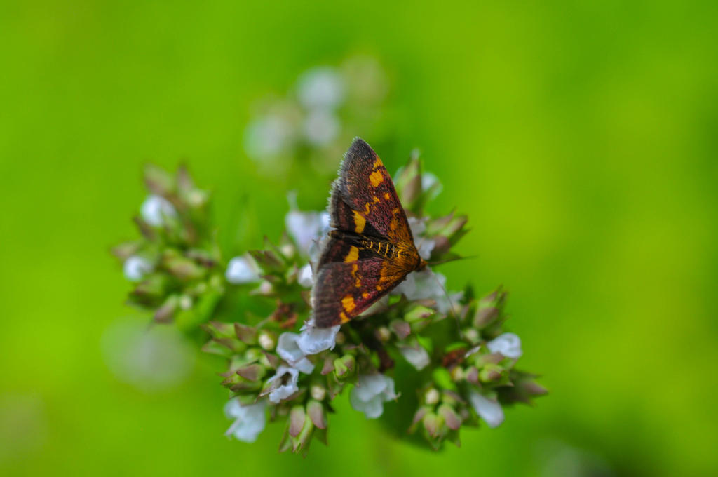 mint_moth_by_neurologics-d7qgi4m.jpg