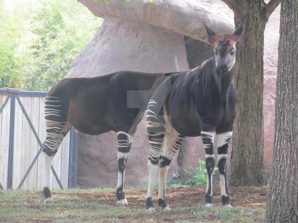 St Louis Zoo Okapi By Gilarah93 On Deviantart