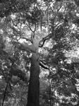 TreeCliftonGorge