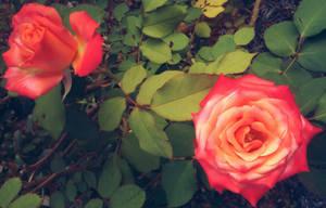 Rose 1 by Elfhawk