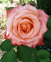 Rose 2 by Elfhawk