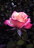Rose 4 by Elfhawk