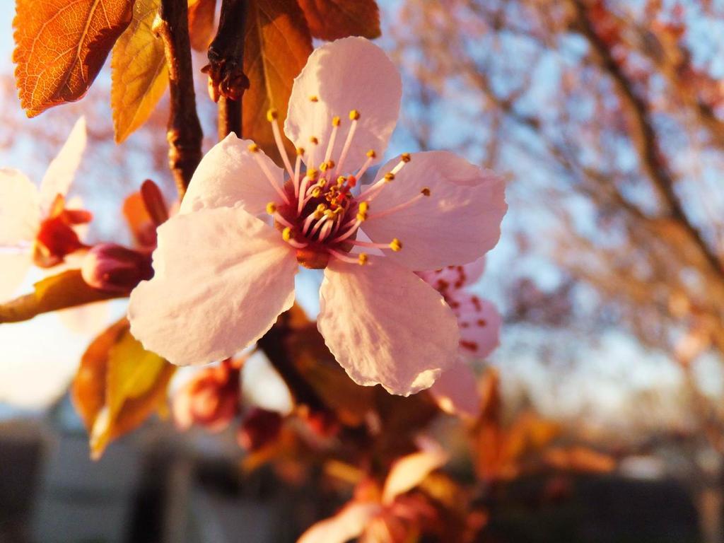 Sunset Plum Blossom by XxSilverOwl13xX