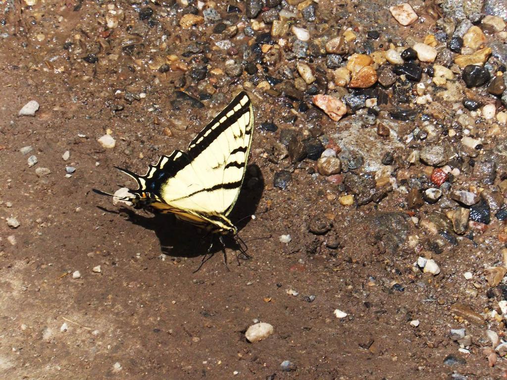 Tiger Swallowtail by XxSilverOwl13xX