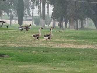 Geese Stock1 by reddev1n