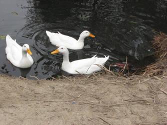 Ducks Stock by reddev1n
