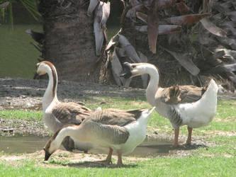 Geese Stock2 by reddev1n