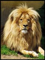 Lion by Pildik
