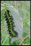 Good-looking caterpillar