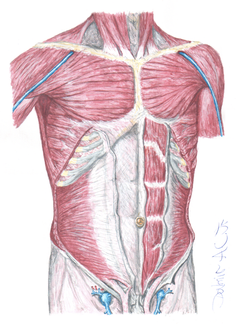Thorax and Abdomen muscles by Brandebuque on DeviantArt