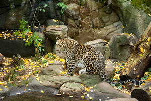 Leopard [STOCK] by C-F-photography