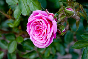 Rose [STOCK] by C-F-photography