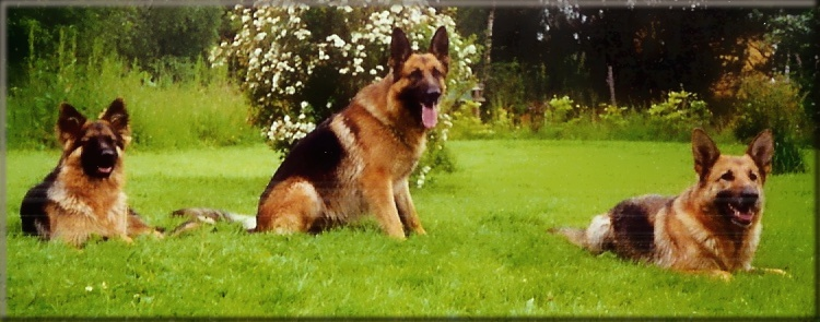 http://fc09.deviantart.net/fs48/f/2009/233/9/8/German_Shepherds_by_UndertheAutumnTrees.jpg