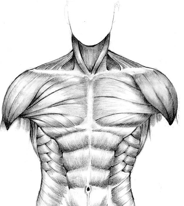 muscular study - front torso by seventyseven on DeviantArt
