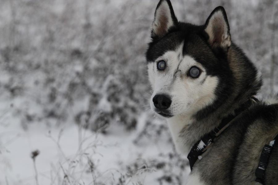 Siberian Husky by Luria-XXII